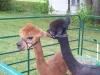 fun_day-sheared_alpacas-2-web